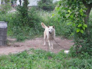 Jindo dog: a type of dog from Jindo.