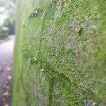 Mossy wall along Harlech Road