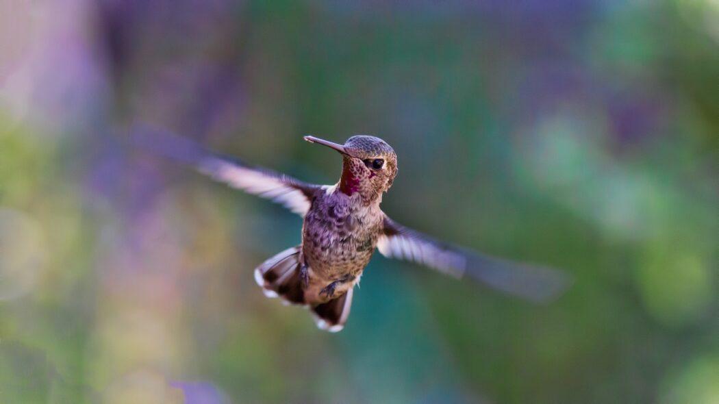 A hummingbird in flight.